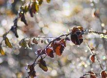 Bevroren doorbladert Stock Afbeelding
