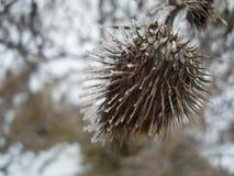 Bevroren doorn met ijs op weerhaken stock afbeeldingen