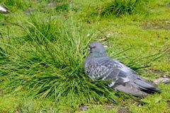 Bevroren duif Stock Foto's