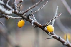 Bevroren duindoorn op een boom Royalty-vrije Stock Afbeelding