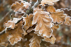 Bevroren eiken bladeren Stock Foto's