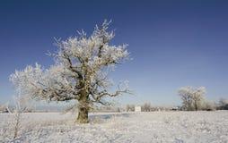 Bevroren eiken boom stock afbeeldingen