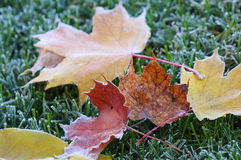 Bevroren Esdoornbladeren Stock Afbeelding