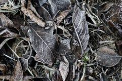 Bevroren gevallen dode de herfstbladeren met ijskristal in de winter. (mede Royalty-vrije Stock Afbeeldingen