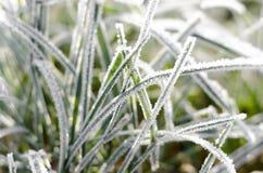 Bevroren gras Stock Afbeeldingen