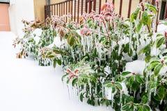 Bevroren groen, struiken en bloemen in de tuin in de winter royalty-vrije stock afbeeldingen