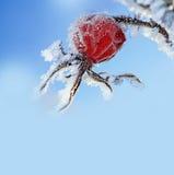 Bevroren heupen - de winter royalty-vrije stock foto's