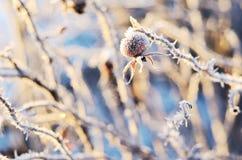 Bevroren heupen van een dogrose in de winter Stock Foto