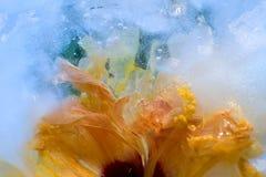 Bevroren hibiscusbloem Royalty-vrije Stock Foto's
