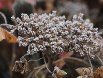 Bevroren hydrangea hortensia Royalty-vrije Stock Fotografie