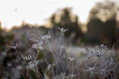 bevroren ijzig gras bents in de recente herfst met de winter komst royalty-vrije stock foto