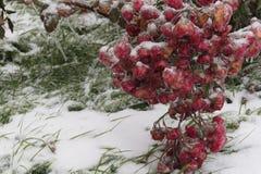 Bevroren installaties - Rode rozen Stock Afbeeldingen