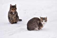 Bevroren katten op sneeuw Stock Foto's