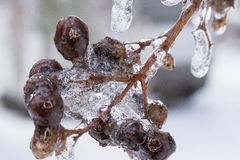 Bevroren kersenbloesems Royalty-vrije Stock Foto's