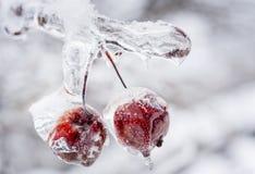 Bevroren krabappelen op ijzige tak Stock Foto