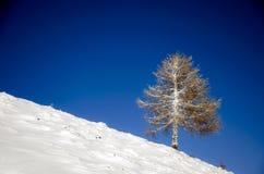 Bevroren lariksboom Royalty-vrije Stock Afbeeldingen
