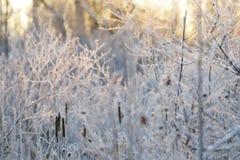 Bevroren Marsh Cattails stock afbeelding