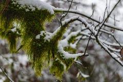 Bevroren naakte bomen met mos op hen Royalty-vrije Stock Afbeeldingen