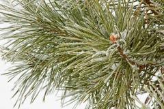 Bevroren naaldpijnboomtak Stock Foto's