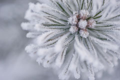 Bevroren naaldtakken in de witte winter De winterachtergrond met naaldnaalden Stock Foto