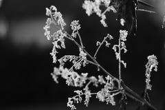 Bevroren ochtenddauw op een pluimpapaver Stock Foto