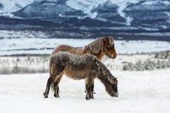 Bevroren paarden Royalty-vrije Stock Fotografie