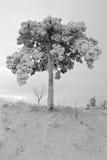 Bevroren pijnboom Royalty-vrije Stock Afbeeldingen