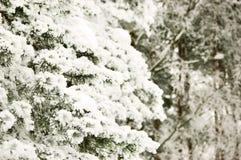 Bevroren pijnboomtak Stock Foto