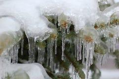 Bevroren pijnboomtakken Stock Afbeeldingen