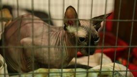 Bevroren rasechte kale kattenzitting in kooi in dierlijke schuilplaats, Sphynx-ras stock footage