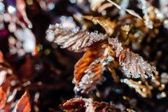 Bevroren rode bladeren in sideway omdat de dehydratie in het bevriezen van koud weer op de manier aan Op het absolute nulpunt in  Royalty-vrije Stock Afbeelding