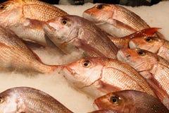 Bevroren rode overzeese vissen Royalty-vrije Stock Foto's