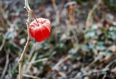 Bevroren rode physalis stock afbeelding