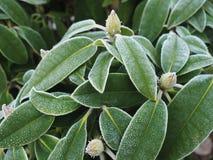 Bevroren rododendron Stock Foto