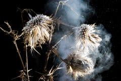 Bevroren rokerige onkruidbloem Royalty-vrije Stock Afbeeldingen