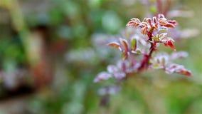 Bevroren rood bloemblad in de groene tuin stock footage