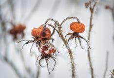 Bevroren rozebottels op de takken stock fotografie