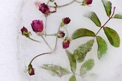 Bevroren rozen Royalty-vrije Stock Foto