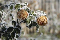 Bevroren rozen Royalty-vrije Stock Afbeelding