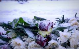 Bevroren rozen Stock Foto