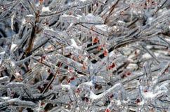 Bevroren struik met rode bessen Stock Afbeelding