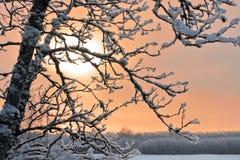 Bevroren tak van boom Stock Afbeeldingen