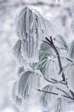 Bevroren tak van pijnboom. Stock Afbeeldingen
