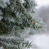 Bevroren tak van sparren Stock Foto