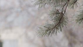 Bevroren tak van sparren in de winterdag, close-upmening stock footage