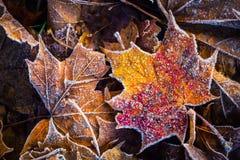 Bevroren van het de ochtendijs van de de herfstvorst koude de esdoornbladeren stock foto