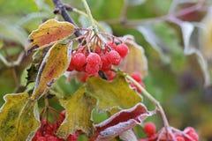 Bevroren viburnum De herfst en sneeuw stock afbeeldingen