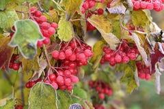 Bevroren viburnum De herfst en sneeuw stock afbeelding