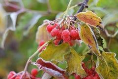 Bevroren viburnum De herfst en sneeuw royalty-vrije stock foto's