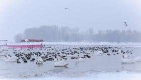 Bevroren vogels op rivier Donau bij -15C Stock Foto's